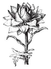 Artichoke, vintage engraving.
