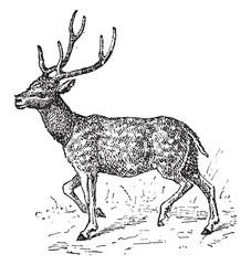 Axis deer, vintage engraving.