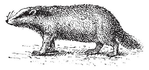 Badger, vintage engraving.
