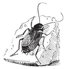 Cockroach, vintage engraving.