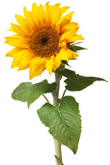 Poster Zonnebloem sunflower isolated