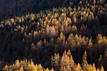 Larches forest at sunset
