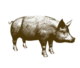 Big pig engraving style