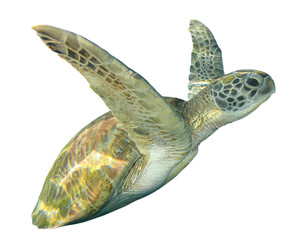 Green Sea Turtle cut out isolated white background