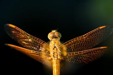 Pantala flavescens dragonfly top view