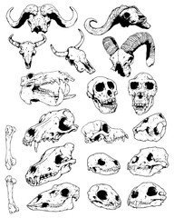 Animal Skull Group Illustration