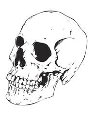 Detailed Human Skull Illustration