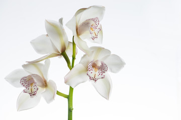 white сymbidium orchid close-up, isolated on white