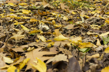 white hat mushroom in autumn leaves Forest