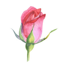 beautiful rose watercolor hand-painted isolated on white background.