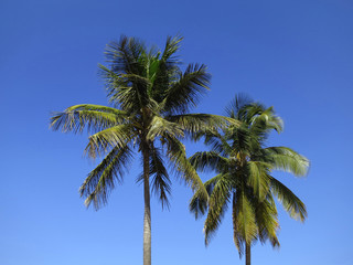 Coco palms in Inhambane, Mozambique, Africa