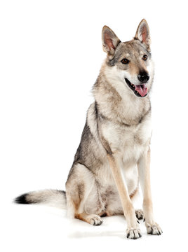 Czechoslovakian wolfdog sitting panting