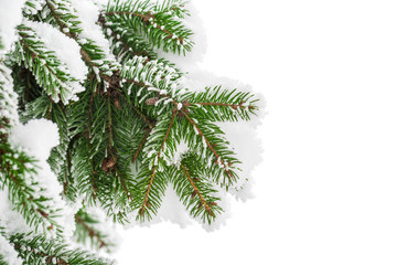 Fir branch in snow isolated on the white background