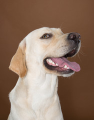 labrador posing in a studio against a cream and brown wall