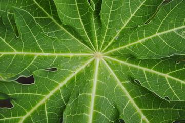 papaya leaf texture in the backyard garden