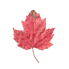 Colorful autumn maple leaf isolated on white background with cli