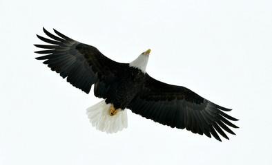 American Bald Eagle (Haliaeetus leucocephalus) in Flight