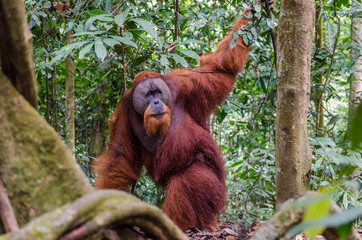 Sumatran wild orangutan in Gunung Leuser National Park in Northern Sumatra, Indonesia