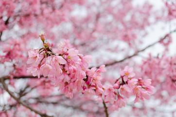 Wild Himalayan Cherry   Prunus cerasoides ,Thailand
