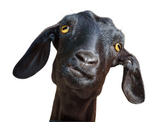 Black goat isolated with clipping path