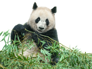 Panda eating bamboo leaves isolated with clipping path