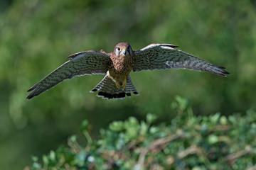 Kestrel (Falco Tinnunculus)/Kestrel flying toward viewer over a hedge