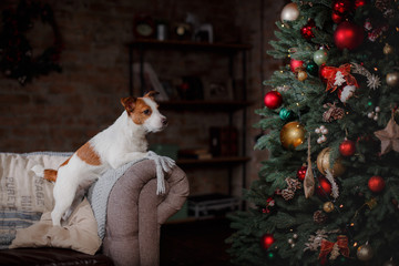 Dog Jack Russell Terrier. holiday, Christmas and New Year