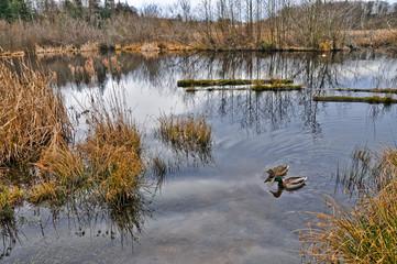 Winter Wetlands Wildlife Refuge Landscape with Ducks