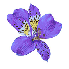 Beautiful bright violet alstroemeria with watercolor effect isolated on white background.