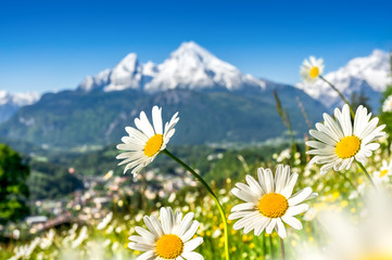 Wall Mural - Beautiful blooming mountain flowers in snow-capped Alps in spring