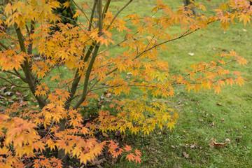 Autumn color of maple