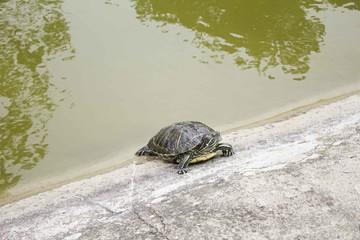 Turtle in Lake