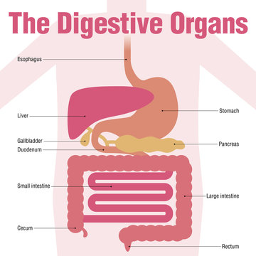 human digestive organs, simplified illustration and name of each organ