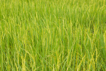 Green rice field in Thailand, Selective Focus