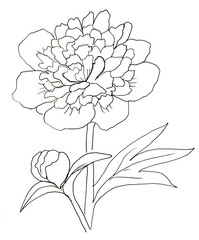 Peony. Ink hand drawn background