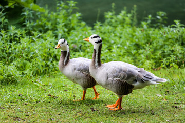 Two geese standing on green grass.