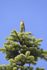 uccello verzellino maschio