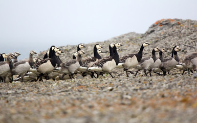 Goose nursery in the arctic wilderness