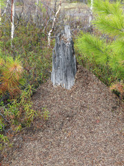 Ant hill in the wood among pines