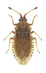 Bug Lasiacantha capucina