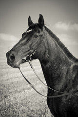 Portarait Of Black Horse - B&W Photography