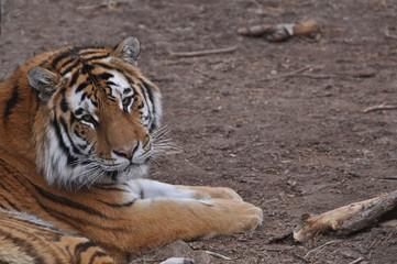 Closeup of Bengal Tiger of Asia
