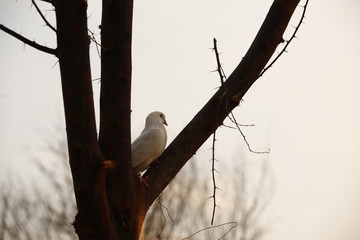 white Pigeon on the tree at rural area