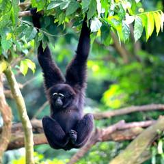 A Siamang Monkey Hanging and Swinging from a Tree