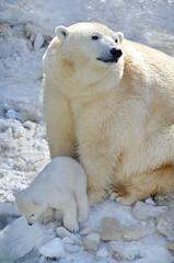 Deurstickers Ijsbeer Белая медведица с медвежонком.