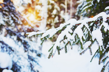 Cold  winter day in the snowy winter forest. Spruce tree under the snow, sunshine glow