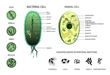 Microbiology. Animal cell, bacterium.