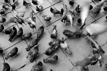 Feeding of pigeon at main square, La Paz