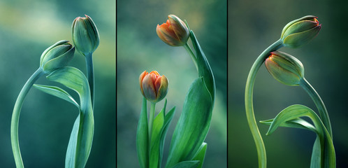 Canvas Afdrukken  - Zielone tulipany - tryptyk