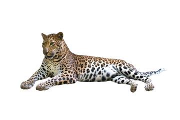 leopard isolated